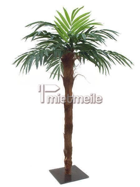 Pflanzen mieten & vermieten - Palme mit 210m Höhe und echtem  in Eibelstadt