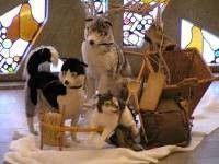 Dekofiguren mieten & vermieten - Husky Stofftiere, Husky, Stofftiere, Plüschtiere, Schlittenhunde, Schlittenhund, Hund, Tier, Dekoration, Event, Messe in Lahnstein