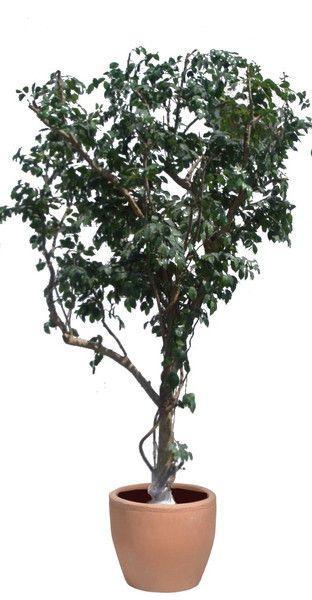 Dekorationsservice mieten & vermieten - Benjamini Bäume, Bäume, Pflanzen, Dekorationspflanzen, Kunstpflanzen, Zierpflanzen, Baum, Event, Messe, Veranstaltung in Lahnstein