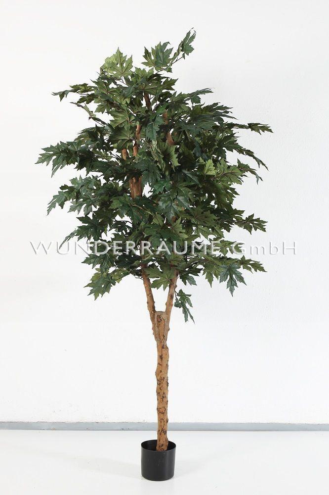 Pflanzen mieten & vermieten - Ahornbaum in Lichtenstein/Sachsen
