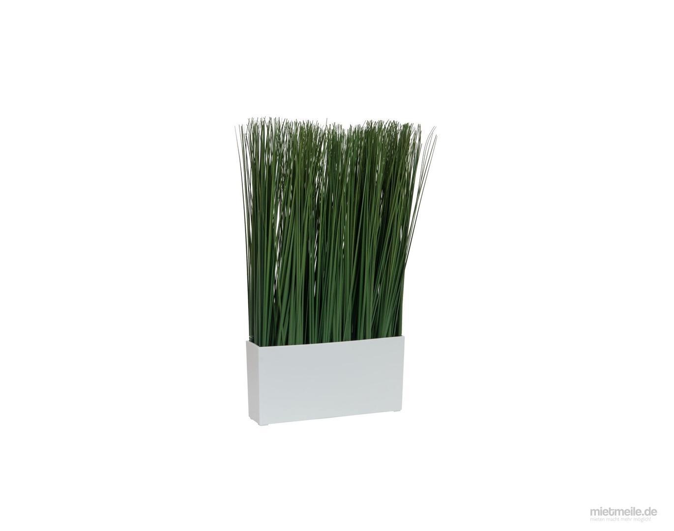 Pflanzen mieten & vermieten - Deko Palmen 300cm - Dünengras - Bäume  in Wismar