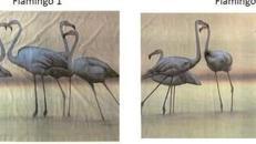 Flamingos Kulisse, Flamingo, Kulisse, Afrika, Vogel, Pink, Küste, afrikanisch, Tier, Wildtier, Dekoration, leihen