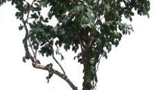 Benjamini Bäume, Bäume, Pflanzen, Dekorationspflanzen, Kunstpflanzen, Zierpflanzen, Baum, Event, Messe, Veranstaltung