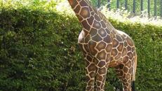 Giraffen Figur XXL, Giraffe, Figur, Dekoration, Afrika, afrikanisch, Savanne, Tier, Großtier,  Event, Messe