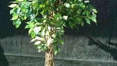 Kunstpflanze, Ficus