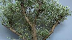 Olivenbaum 250cm echt !