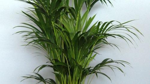 Palmen echt