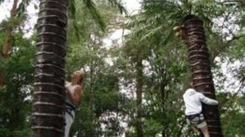 Palmenklettern