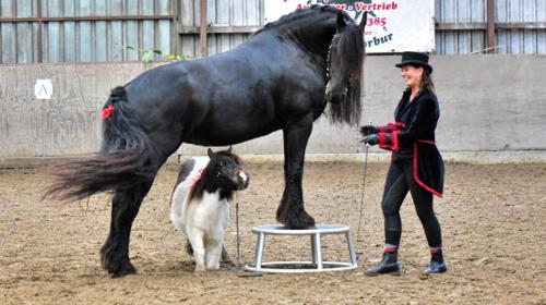 Pferd / Ponyshow  - Zirzensik ( Zirkuslektionen)  für groß und klein / Freiheitsdressur / Hochzeitspferd