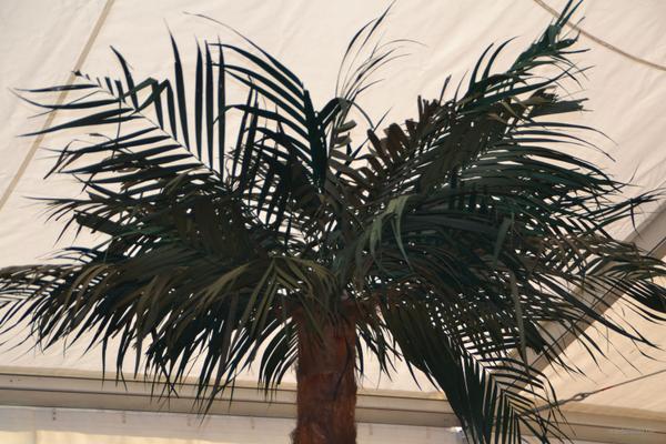 Pflanzen mieten & vermieten - Palmen, Deko Palmen, echte Palmen ca. 2 -3 m groß  in Lehrte