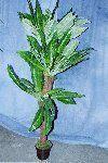 Pflanzen mieten & vermieten - Palmen,Bambuspflanzen in Sinsheim