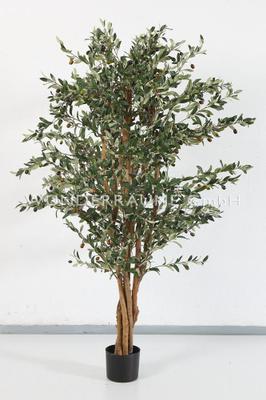 Pflanzen mieten & vermieten - Olivenbaum M in Lichtenstein/Sachsen