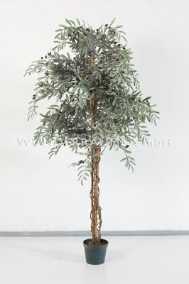 Pflanzen mieten & vermieten - Olivenbaum L in Lichtenstein/Sachsen