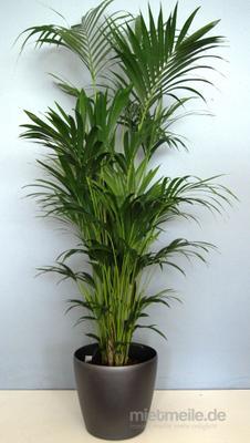Pflanzen mieten & vermieten - Palmen echt  in Kirchheim bei München