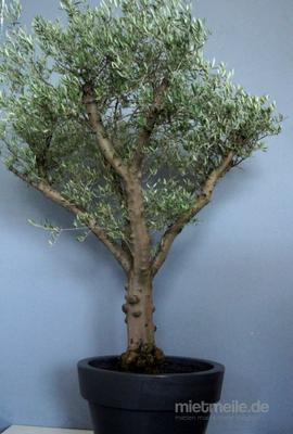 Pflanzen mieten & vermieten - Olivenbaum 250cm echt ! in Kirchheim bei München